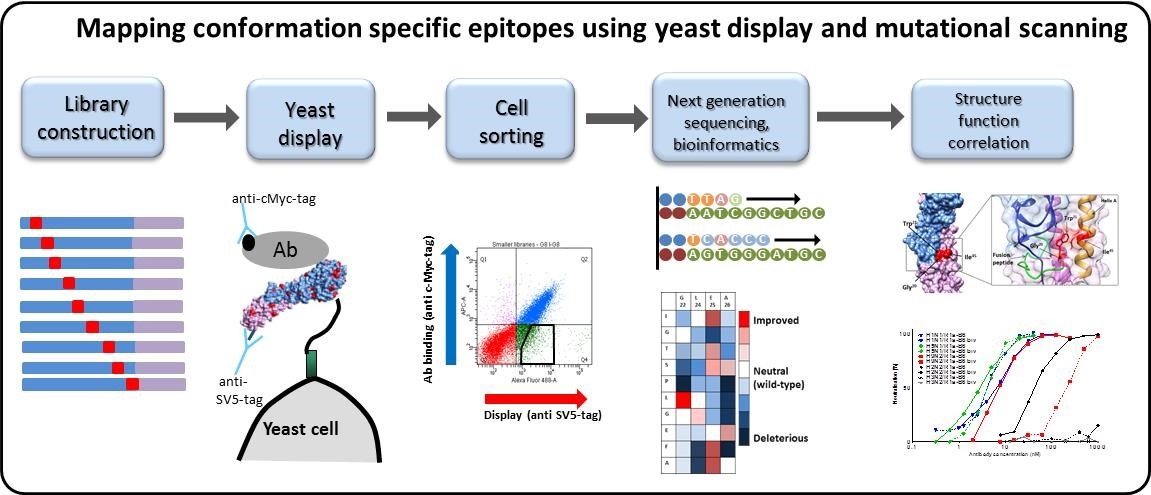 Epitope mapping using yeast display and mutational scanning